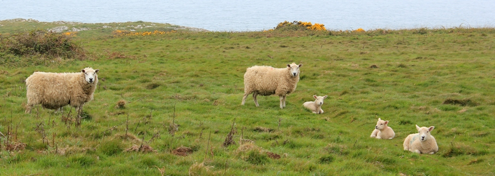 05-lambs-on-the-cliffs-ruth-walking-the-gower-peninsula