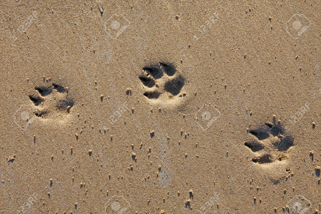8504328-animal-footprints-in-the-sand-copy-space-stock-photo-dog