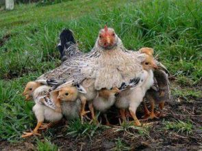 mother hen