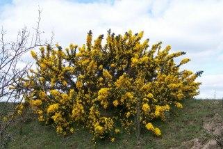 gorse bush