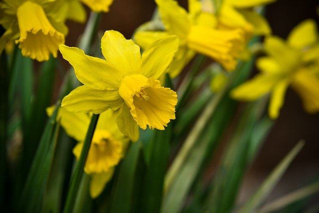 Daffodils. Image taken from Pixabay.com by dendoktoor