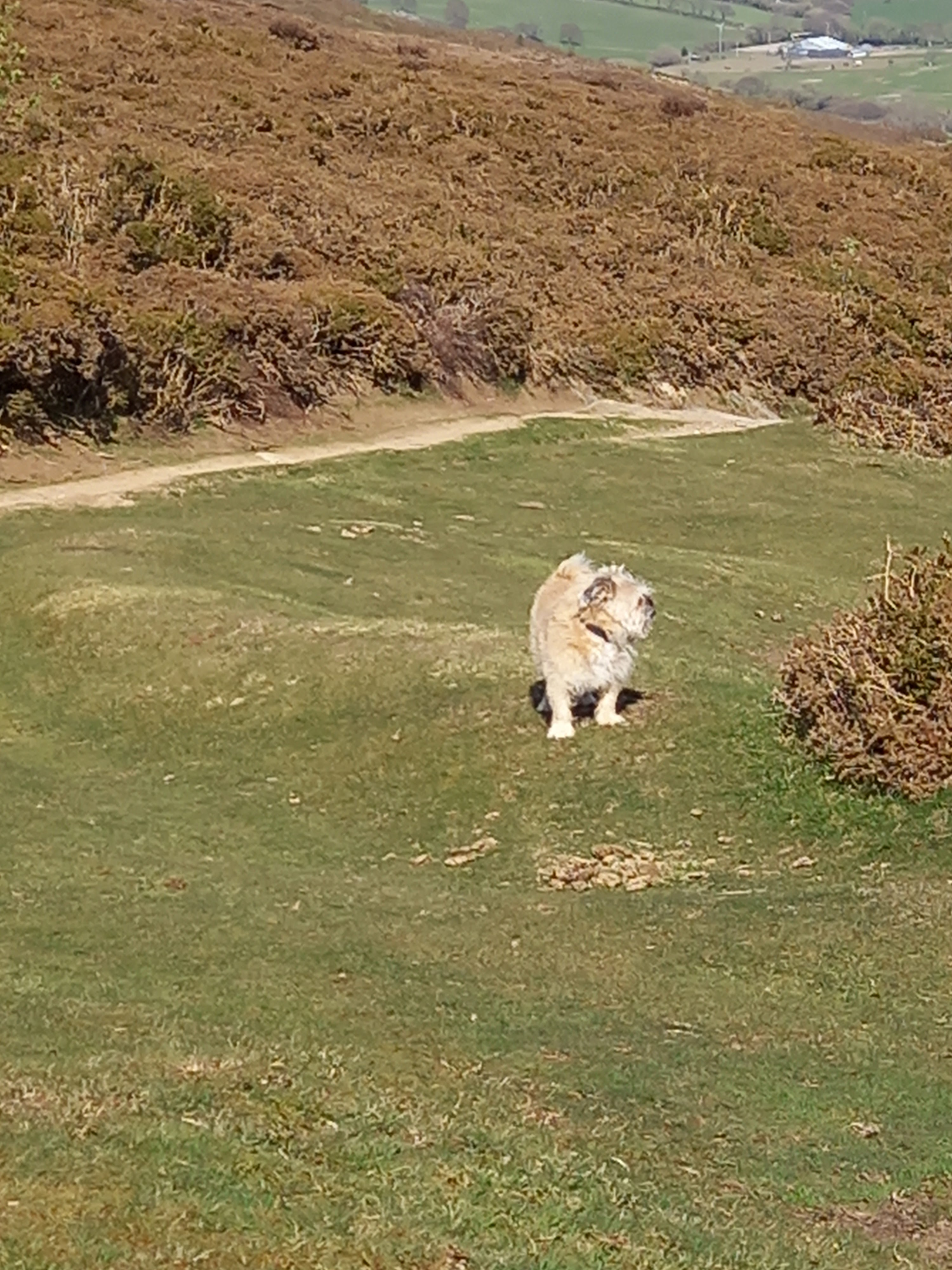 """Diane Woodrow's dog Renly barking at """"the world"""" on near the top of Conwy mountain"""