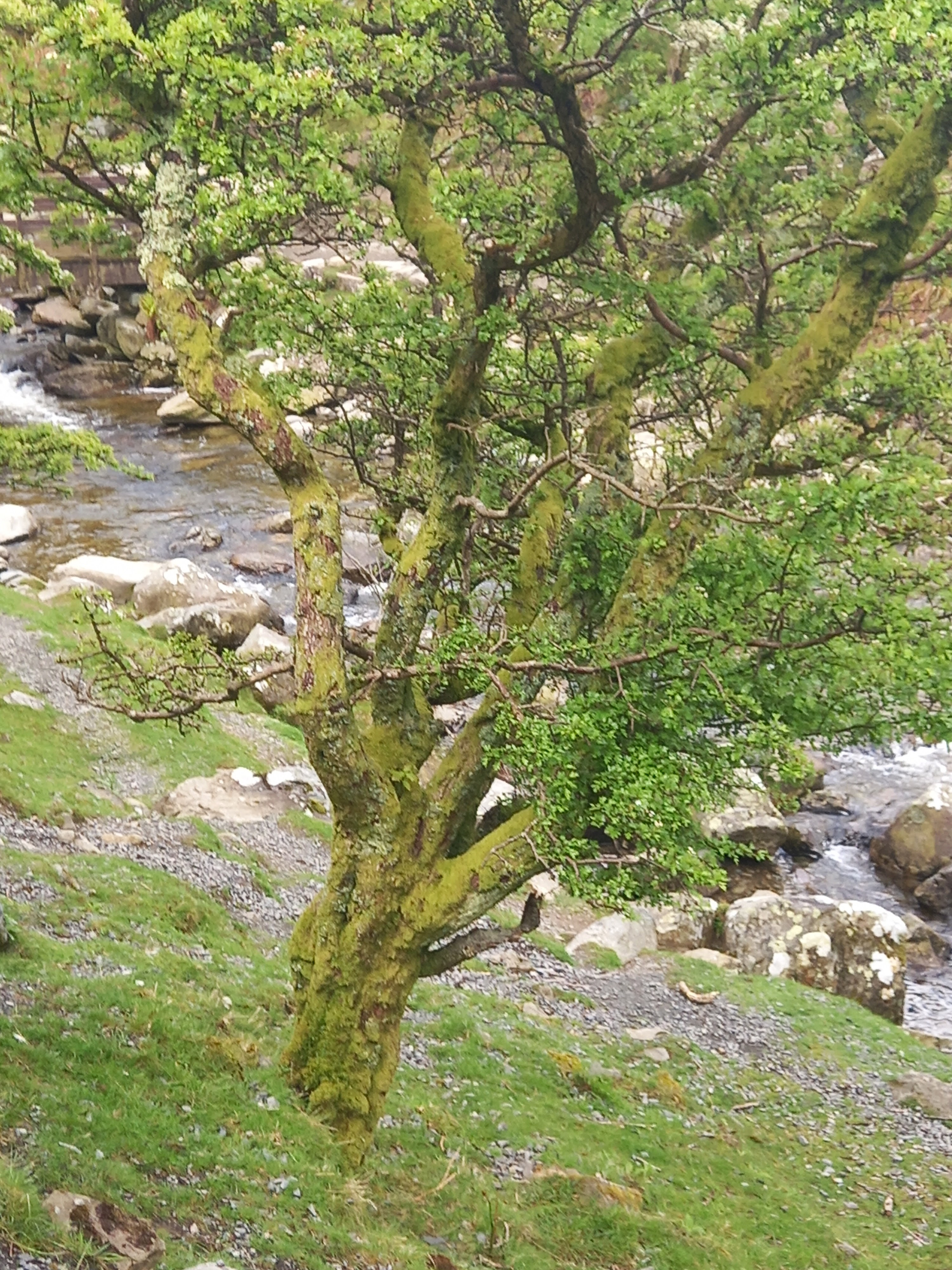 An old oak tree at Aber Falls taken by Diane Woodrow