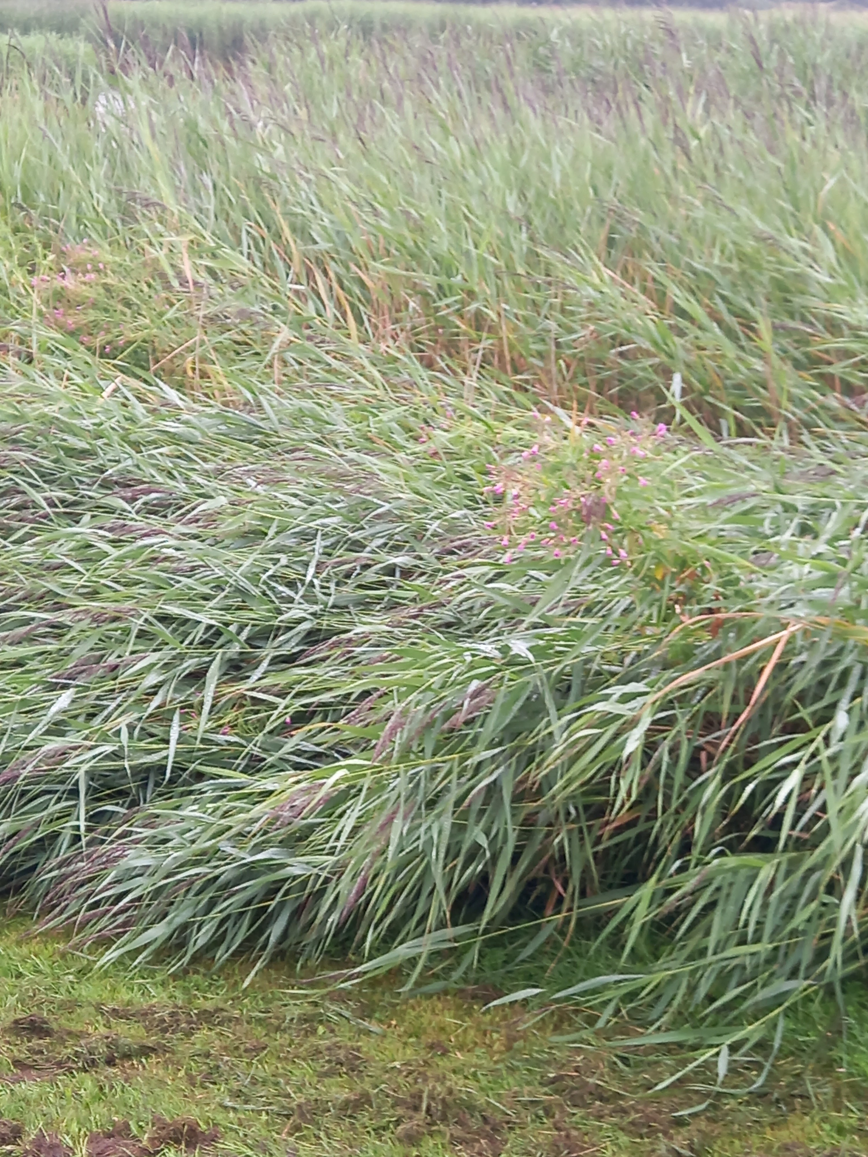 Reeds round the edge of local Abergele pond blown flat by a storm. Photo taken by Diane Woodrow