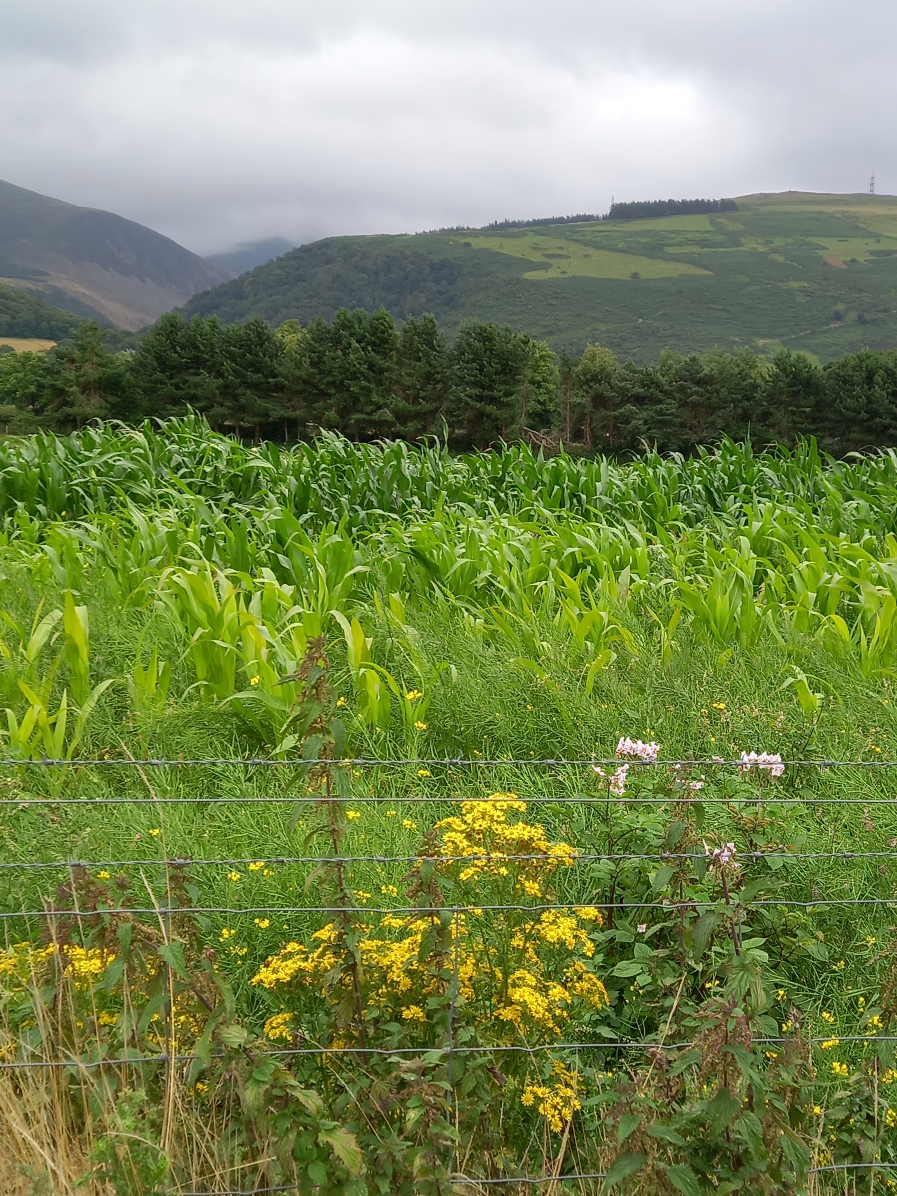 maize field in the foreground, a row of conifer trees then rolling hills and onward to Snowdonia national park. Sky is cloudy with patches of sunshine. Taken by Diane Woodrow